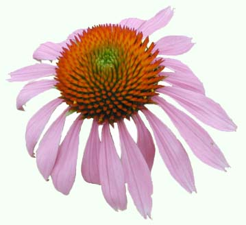 Echinacea...pretty, and unregulated