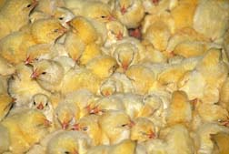 factory farm chicks
