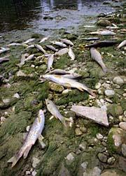Oil spill dead fish
