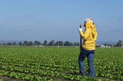 Are California Farm Workers Independent Contractors?