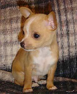 Chihuahua Puppy Food Recipes