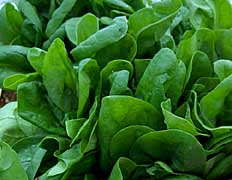 spinach e. coli